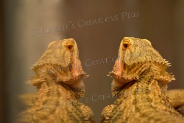 A bearded dragon notices his reflection.