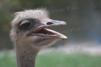 This ostrich walked back-and-forth with his mouth open for several minutes.