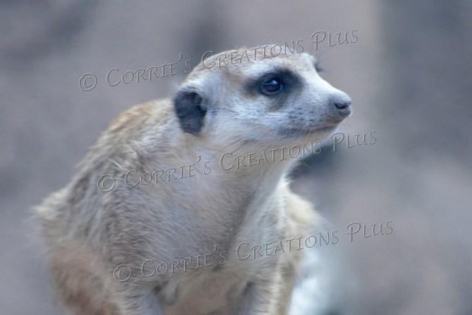 This meerkat has his eye on something!