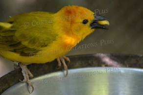 A Taveta golden weaver enjoys a snack.