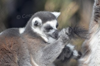 Ring-tailed lemur playing with his tail