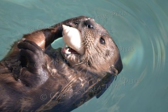 Try as he might, this otter could NOT swallow the seashell--which is a good thing!