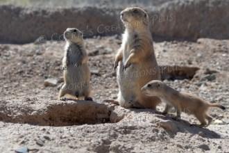 Prairie dog family