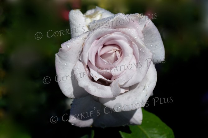 Taken at the Rose Garden in Lincoln, Nebraska