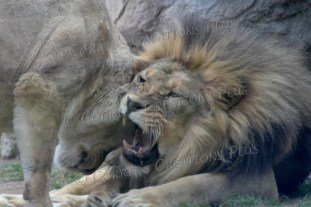 Mom and Dad African lions share a moment.