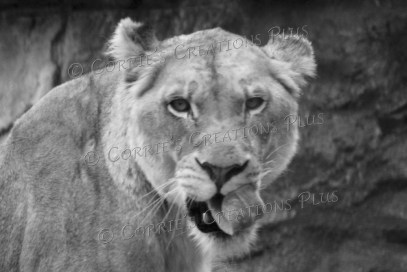 African lion licking her chops
