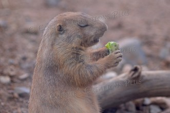 "Even prairie dogs know it's best to say ""grace"" before meals."