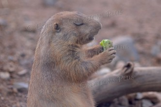 """Even prairie dogs know it's best to say """"grace"""" before meals."""