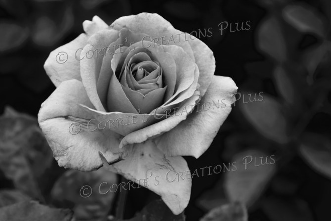 A rose in black-and-white