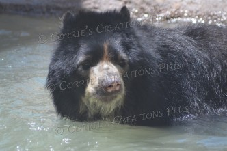 The Andean bear cools off with a swim.