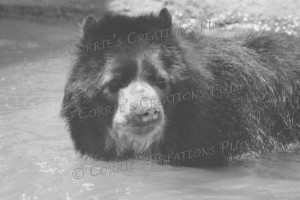Andean bear goes for a swim.