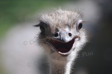I know--yet another ostrich photo!
