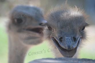 Ostrich pals!