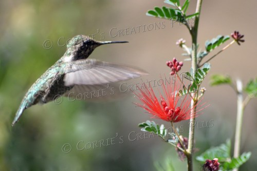 A hummingbird attempting to pollinate Arizona's bottle brush plant