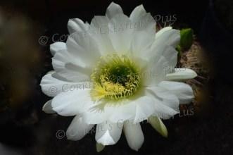 Organ pipe cactus blossom; taken near Tucson, Arizona