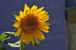 Sunflower in front of a blue adobe building in downtown Tucson