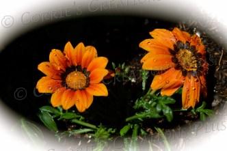 Orange gazanias