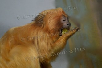 Golden lion tamarin enjoys breakfast