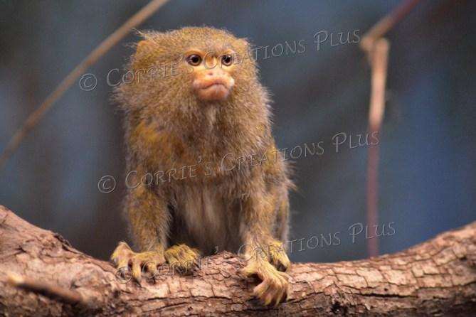 Golden Tamir monkey