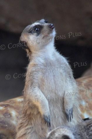 """Meerkat (it's just a """"mere cat"""")"""