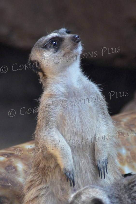 "Meerkat (it's just a ""mere cat"")"