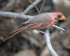 Cardinal. It appears as if he's molting.