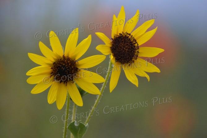 Double sunflowers