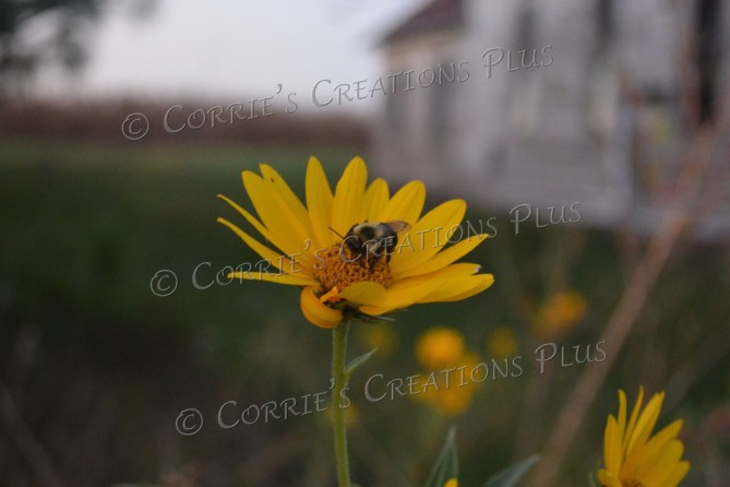 A bumblebee pollinating. Notice the abandoned building in the background. Taken in southeastern Nebraska