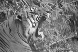 Big yawn from a Malayan tiger