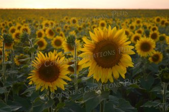 These sunflowers had huge blossoms. Near Adams, Nebraska