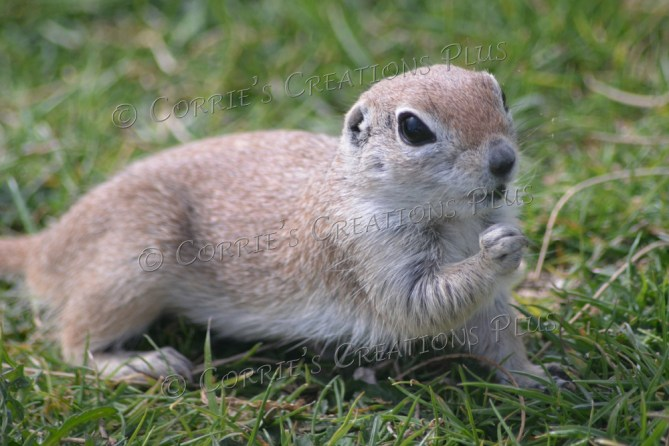 A friendly round-tailed ground squirrel