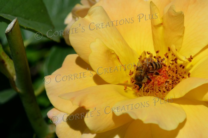 Honeybee on a yellow rose; taken at the Rose Garden in Tucson, Arizona