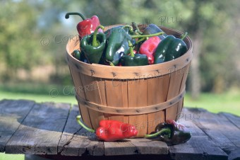 Basket of poblano peppers