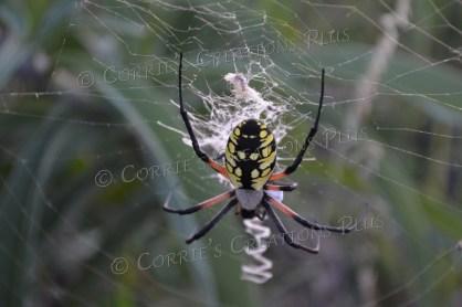 Golden orb weaver spider; taken in southeastern Nebraska