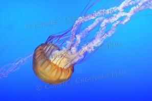 """Jellyfish (AKA """"spineless"""")"""