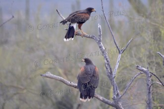 Two Harris hawks; photo taken in southern Arizona