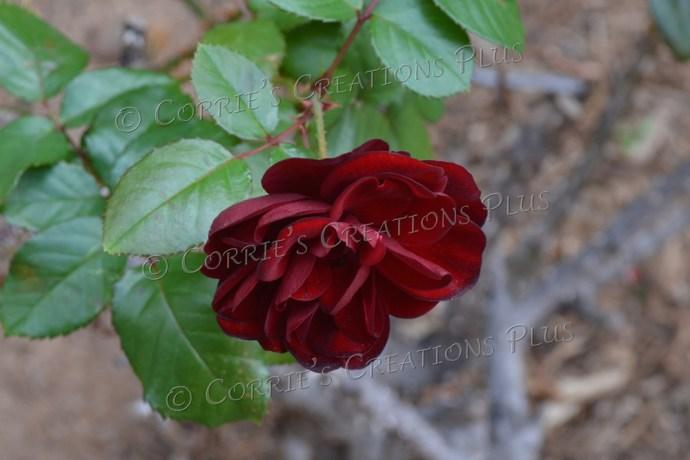 Magenta-colored rose
