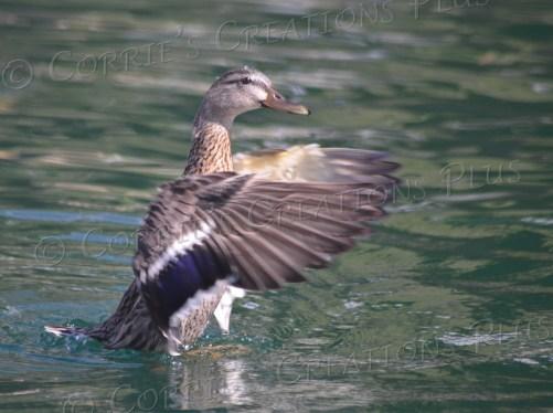 Mallard on a small lake in Tucson