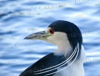 A black-crowned night heron gives a backward glance.