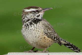 Cactus wren (Arizona's state bird). Notice the pink coloring on the beak--he had just finished eating fruit from the Saguaro cactus.