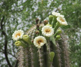 The blossoms of a Saguaro cactus