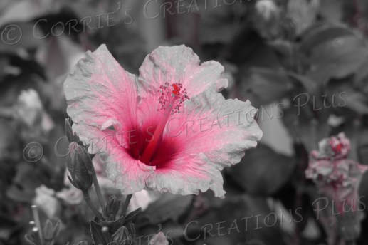 Hibiscus taken in one-point color