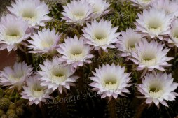 A cluster of beautiful cactus blossoms