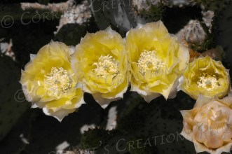 A one-point version of yellow prickly-pear cactus blossoms
