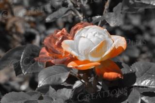 Orange rose taken in one-point color