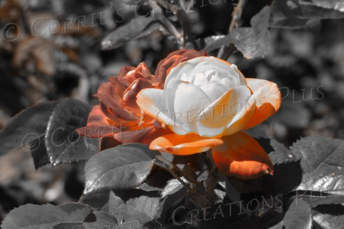 Orange rose taken in one-point color