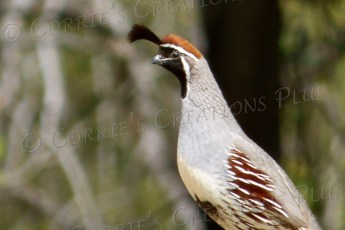 Gambel's quail is native to the desert Southwest.