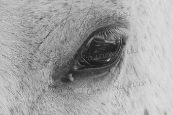 Upclose photo of a horse's eye. Notice the detail in the eyelashes and the reflection from the eyeball.