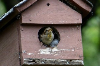 A sparrow peaks out of his birdhouse; southeastern Nebraska