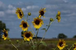 The clouds enhance this photo of sunflowers. Near Adams, Nebraska
